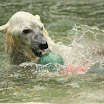 Polar Bear playing with a floating toy