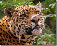 Jaguar amenzado por minería ilegal. Foto Pascal Blachier