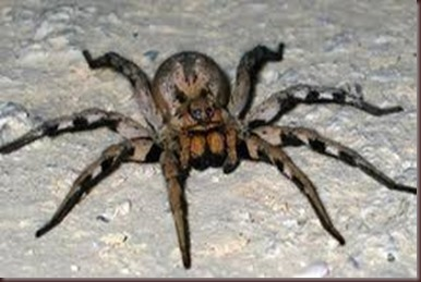 Amazing Pictures of Animals. Poison, Dangerous.7.The Brazilian wandering spider.Alex