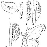 METAMORFOSIS-MARIPOSA.jpg