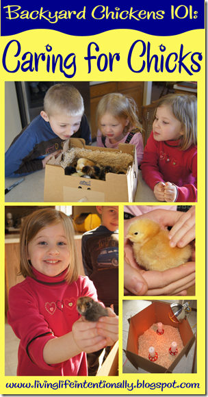 Backyard Chickens 101 - Caring for Baby Chickens