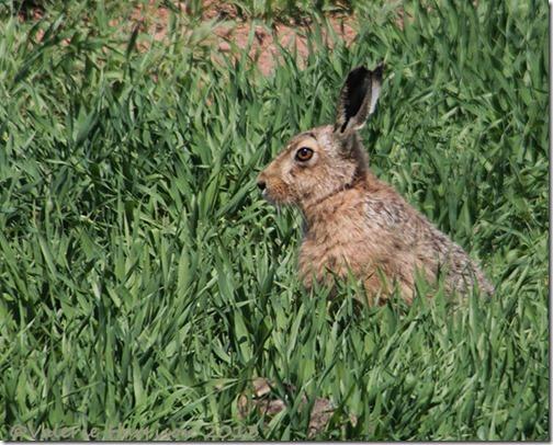 52-hare
