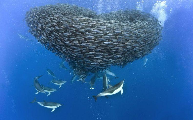 shark-and-mackerel-11