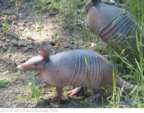 'Nine-banded armadillo' photo (c) 2013, Robert Nunnally - license: http://creativecommons.org/licenses/by/2.0/