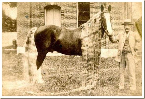 Linus le cheval aux crins les plus long du monde (4)