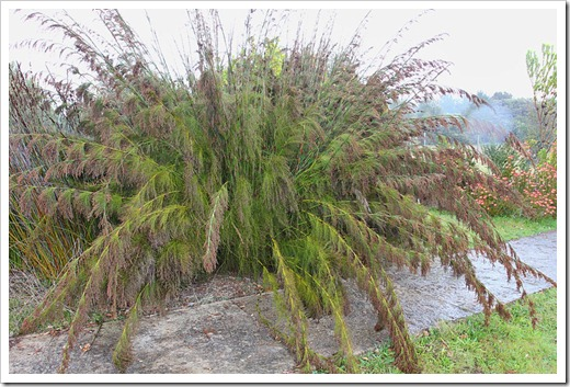 120211_UCSC_Arboretum_Rhodocoma-capensis_01