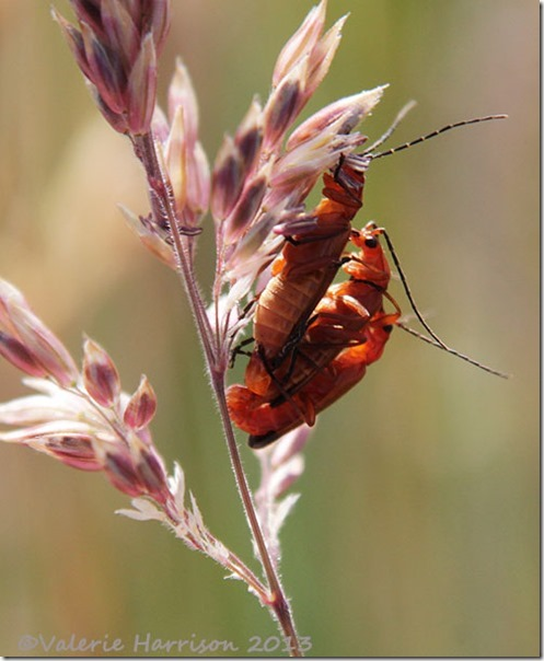 32-soldier-beetle-orgy