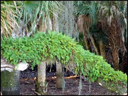 04 - Resurrection Ferns