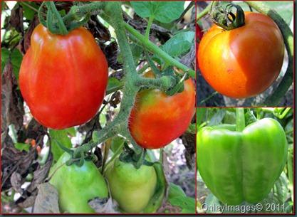 tomato collage0818