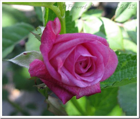 04-28-unkn-rose