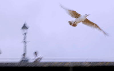 Seagull in Flight - by Matt Groves