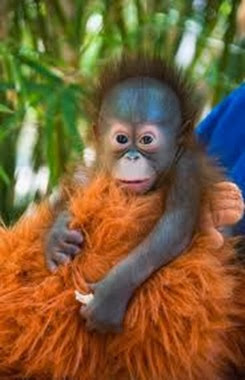 Amazing Pictures of Animals, Photo, Nature, Incredibel, Funny, Zoo, Bornean orangutan,Pongo pygmaeus, Primates, Alex (9)