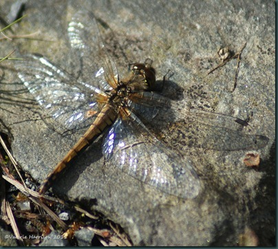 26 dragonfly