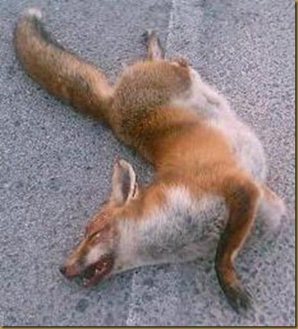 zorro muerto