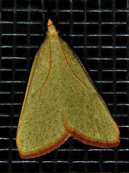 Crambidae : Pyraustinae : Osiriaca ptousalis WALKER, 1859. Umina Beach (NSW, Australie), 23 octobre 2011. Photo : Barbara Kedzierski