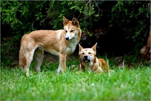 Dingoes 01