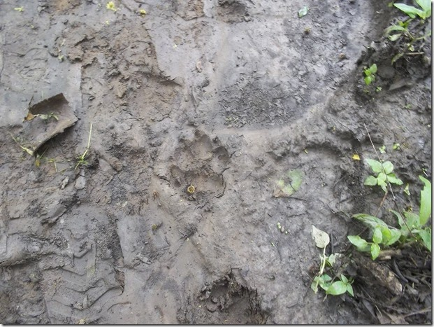 Leopard footprint