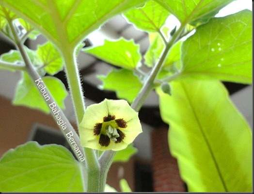 Golden Nugget Cape Gooseberry Bloom