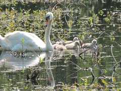 baby swans3