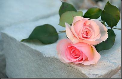 rosa-6079