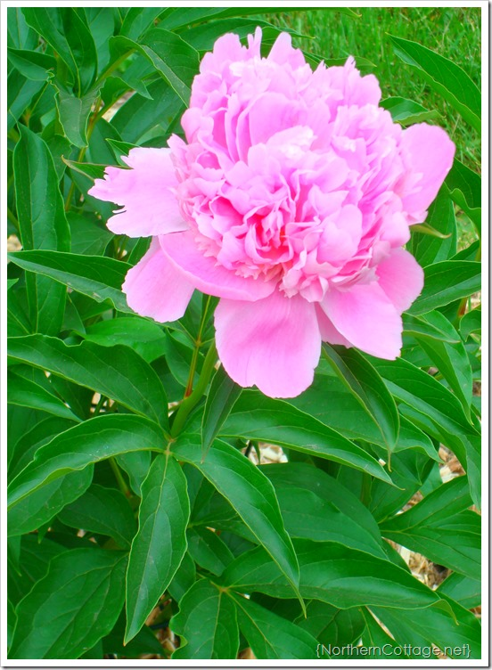 {Northern Cottage} my fav flower - Peony