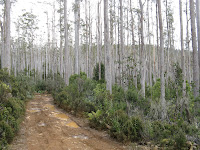Tall timber Eucalypts Photo