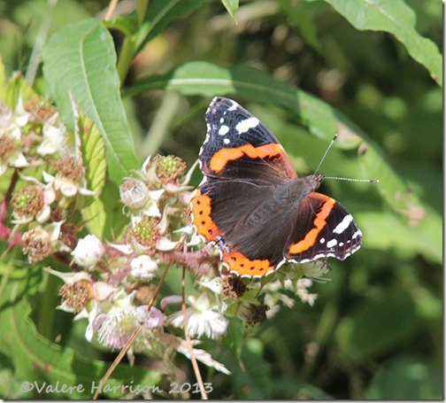 55-red-admiral