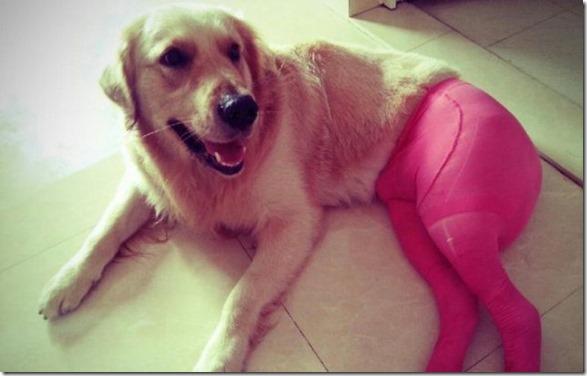 dogs-pantyhose-13
