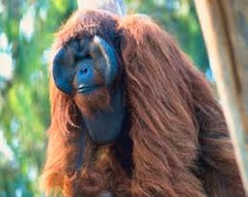 Amazing Pictures of Animals, Photo, Nature, Incredibel, Funny, Zoo, Bornean orangutan,Pongo pygmaeus, Primates, Alex (3)