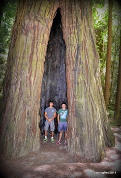 Standing in a giant redwood