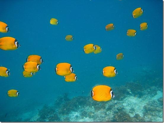 Blackcap Butterflyfish01