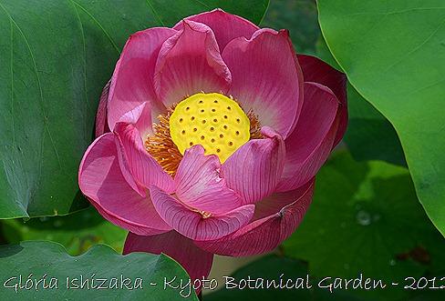 Glória Ishizaka - Flor de Lótus - Kyoto Botanical Garden 2012