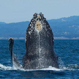 Humpback Whale waving 'hello' by Wade Tregaskis - Animals Sea Creatures ( humpback, barnacles, breaching, waving, fin, flipper, whale )