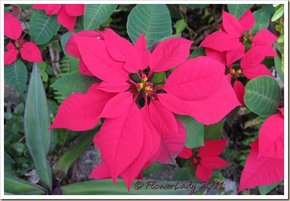 12-16-poinsettia3