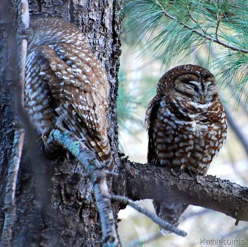 5. magic owls-kab
