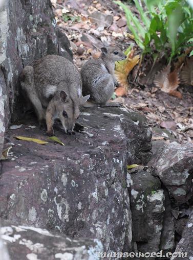 Wallaby closeup darwin