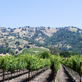 Vineyards and Hills by Holly Lent - Landscapes Travel ( hills, vineyard, vines, napa valley, stag's leap )