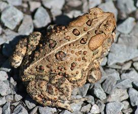 toad warts