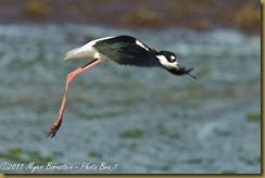 Black-necked Stilt _ROT3303 Bombay Hook-Edit  May 10, 2011 NIKON D3S