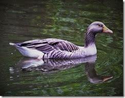 Grey Lag goose Center Parcs May 2014 (1)