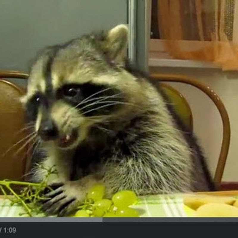 Τρώει σταφύλια σαν κύριος