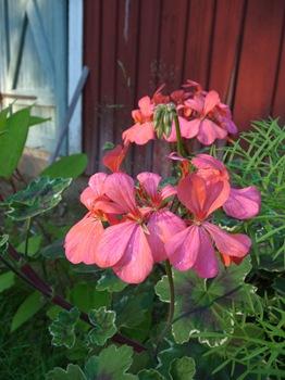 067 korr Pelargonium 'Frank Headley' Daniel Grankvist