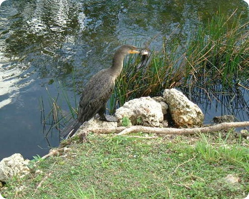 everglades-birds-eating-catfish-lake-harbor