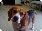 Beagles are often bred for and used in animal research because they tend to be passive, gentle and kind. Axel is anxiously awaiting adoption in Northridge California- can you help?