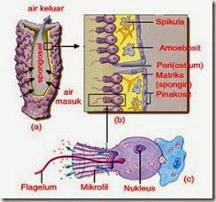 sel leher koanosit porifera
