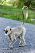 _P6A1676_grey_langur_monkey_mudumalai_bandipur_sanctuary