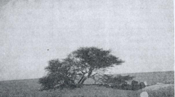 tree-of-tenere-4