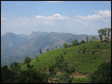 Ashram Tea Bushes