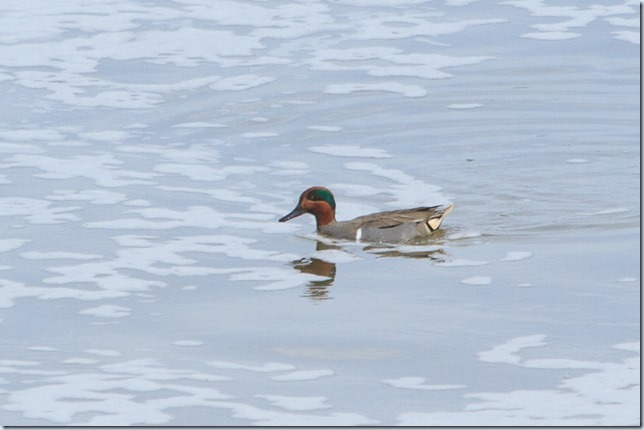 Green-wingedTeal_Crossness-1