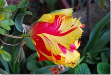 tulipa DSC_0391DSC_03911